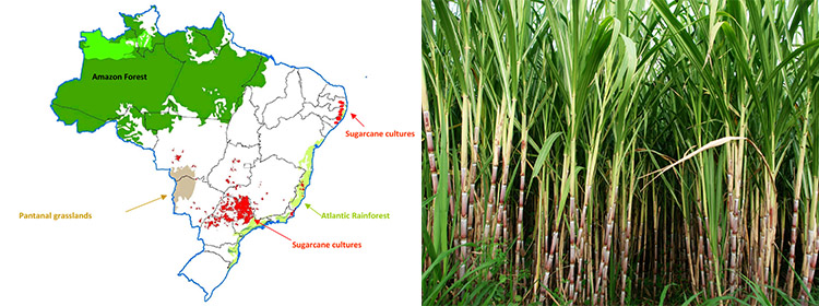 a picture of main sugarcane source