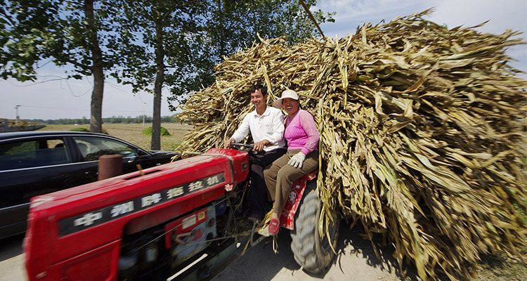 farmer moves corn stalk away